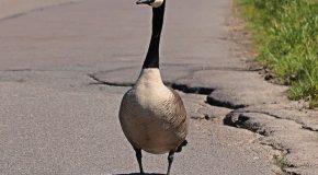 Auto : que faire après avoir heurté un animal sauvage sur la route ?